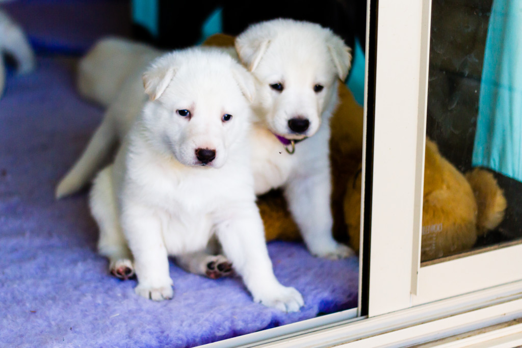 White Swiss Shepherd Puppy - Bimbadeen Snow Doll