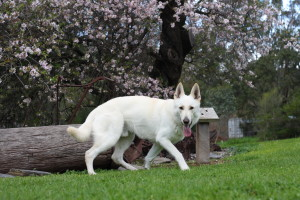 Synergy White Swiss Shepherd Breeders Adelaide