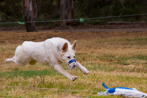 Synergy Kennels - White Swiss Shepherd Dogs Adelaide