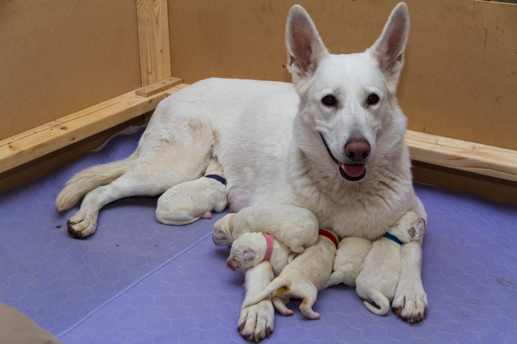 Bimbadeen Snow Doll (Xanthe) and her puppies