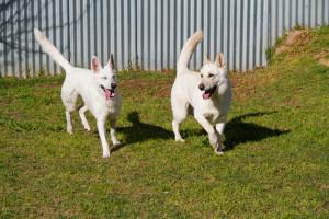 Synergy Kennels - White Swiss Shepherd Dogs Adelaide