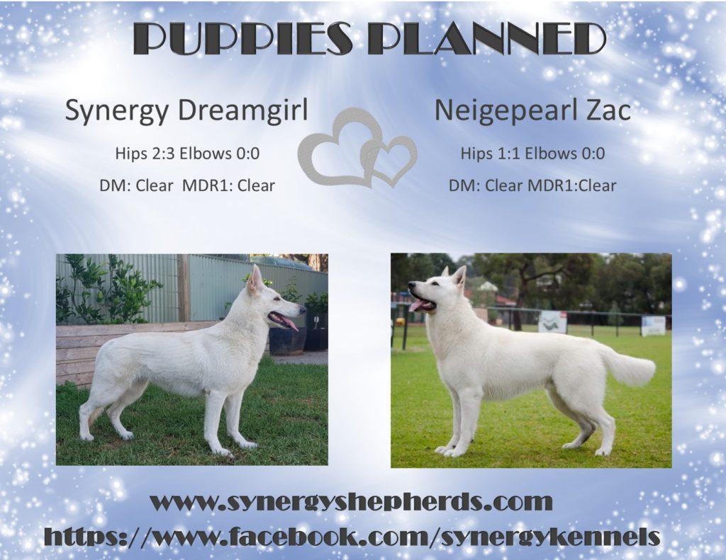 White Swiss Shepherd Puppies Adelaide